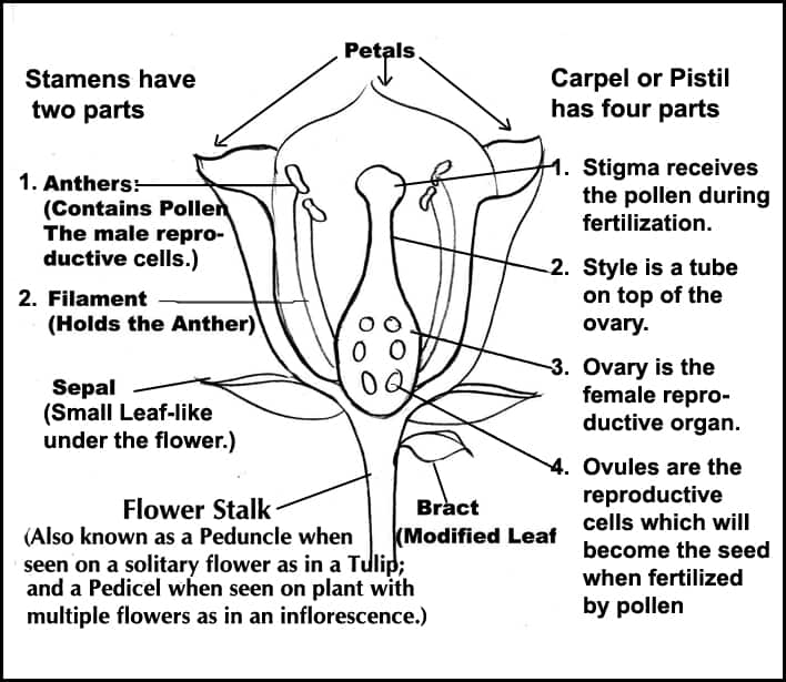 Diagram Of A Flower Female N Male Parts 121