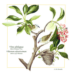 Braida_Olivia_3_Vireo altiloquus_Expectations