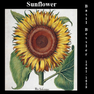 Besler Sunflower